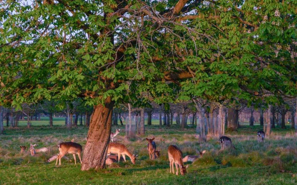 Cervos no Phoenix Park em Dublin
