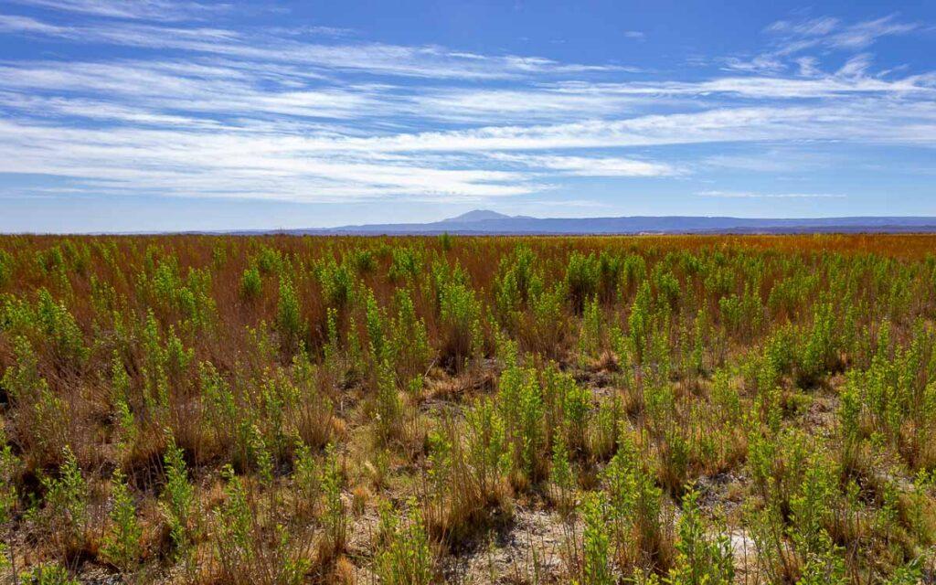 Vegetação Deserto do Atacama