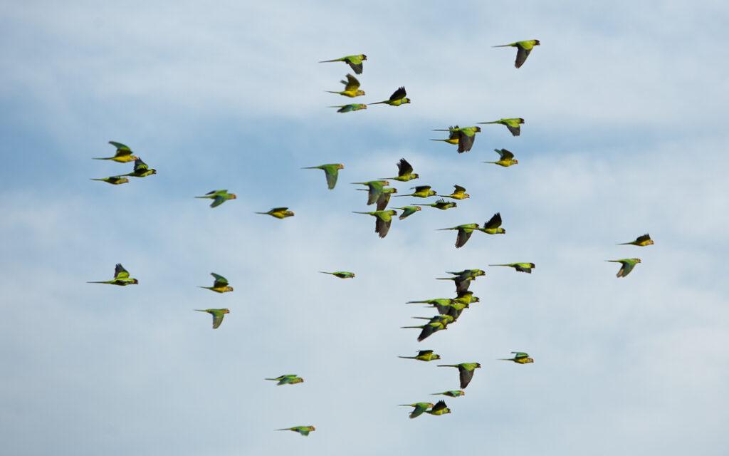 Papaguaios no Pantanal