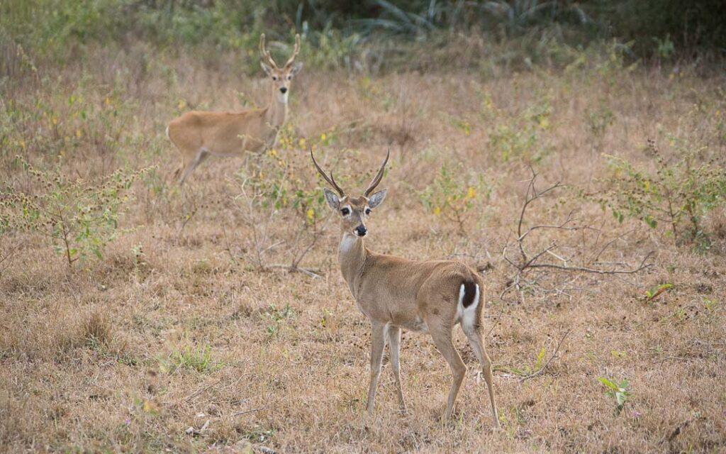 Cervos do Pantanal